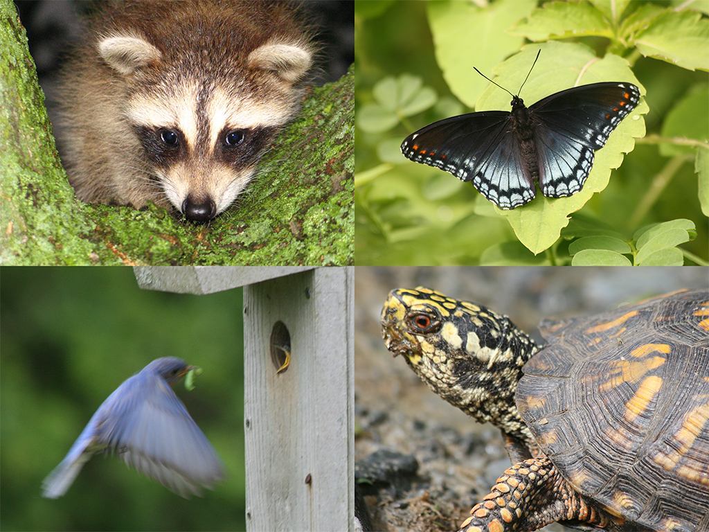 A collage of animals showing a young raccoon, a butterfly with black wings, a bluebird in flight, and a painted turtle in the woods