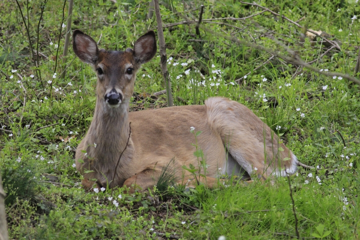 An image of a deer laying on the grass