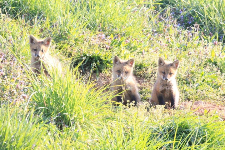 An image of 3 baby foxes