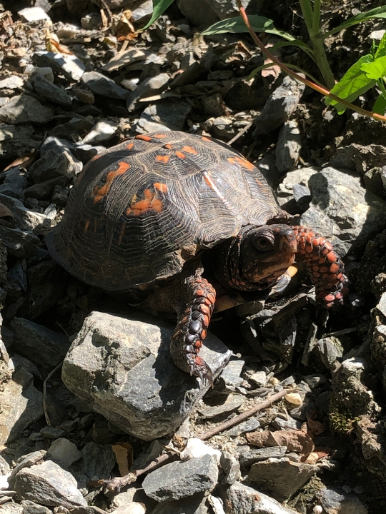 An image of a turtle on rocks